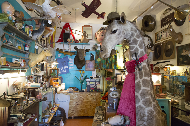 """Woolly Mammoth Antiques and Oddities, 1513 W. Foster Ave, hosted its fourth taxidermy workshop on Jan. 25 and 26. In the workshop, six students, mostly beginners, worked on farm pheasants. All of the pheasants had experienced """"post deaths,"""" meaning they ran into posts."""