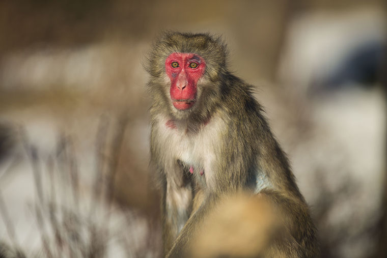 As part of a $15.5 million Lincoln Park Zoo improvement plan, Japanese macaques arrived in the zoo's newest exhibit, the Regenstein Macaque Forest, which is set to open to the public in May.