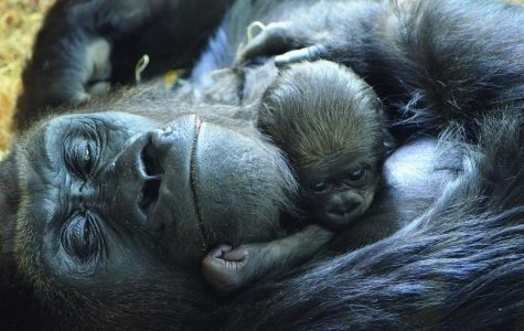 Lincoln Park Zoo Welcomes Newborn Gorilla