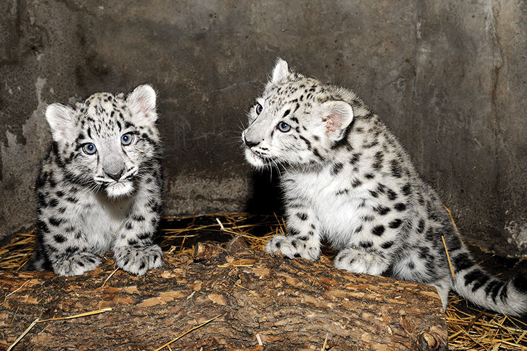 Two snow leopard cubs, with names still to be determined, were born June 16 at the Brookfield Zoo.