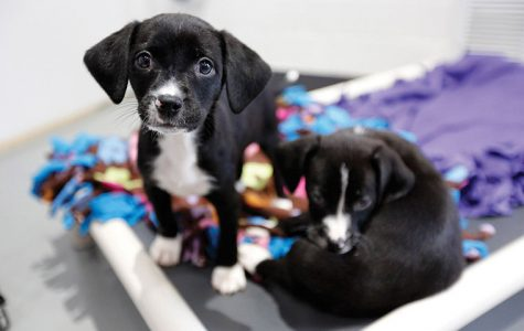 Sale of dogs from Puppy mills banned in Chicago