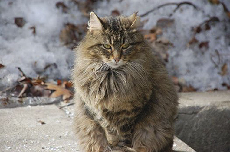 Feral cats like this one, named Allie, are used to quell rat problems throughout Chicago.