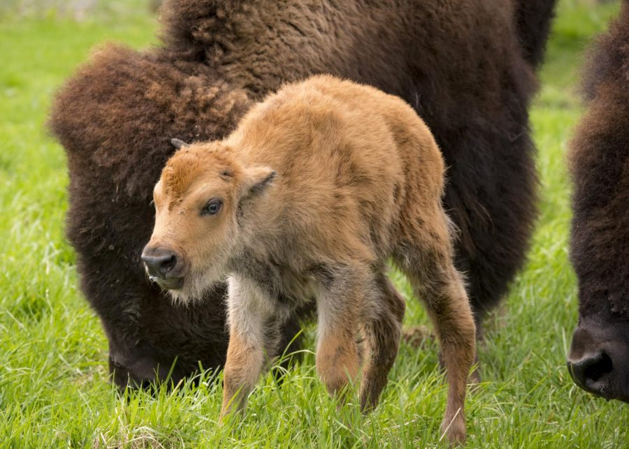 Baby bison are expected to  be born at Fermilab in Batavia, Illinios, during April and May.