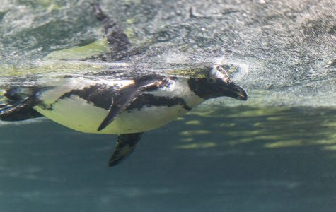 Love lives of penguins at Lincoln Park Zoo captivate readers