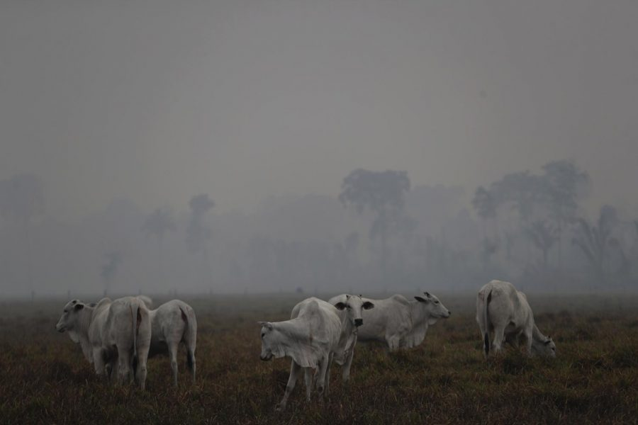 Experts+say+the+cattle+industry+is+partially+to+blame+for+fires+in+the+Amazon+rainforest.+