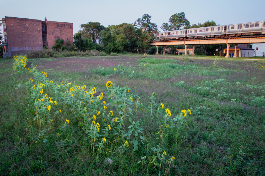 The last row of sunflowers remain in bloom at Sunflower City under the Garfield Green Line stop.