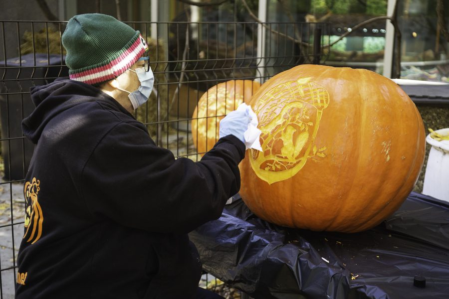 Pat Solomon wipes the ink off of a pumpkin carved by her husband Marc Solomon, who provided many of the pumpkins featured on the Lincoln Park Zoo pumpkin walk.