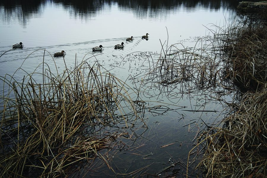 A raft of mallards — a species of waterfowl commonly found in city parks — floats through Walker Lake in Kirkwood, Missouri.