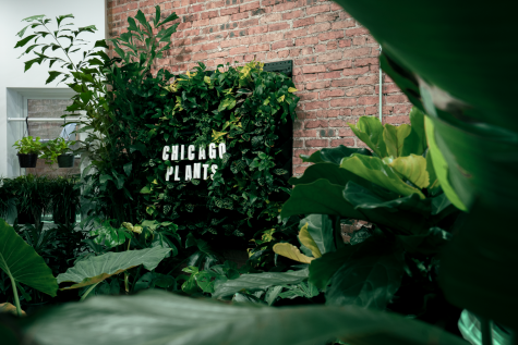 A monstera grows in Chicago: How taking care of houseplants can help you